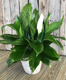 Peace lily plant in a ceramic container.