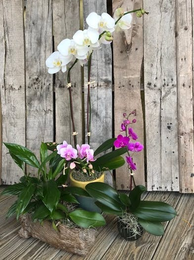 White and purple orchid plants in pots.
