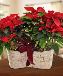 Two red poinsettia plant in a bakset with a holiday decor