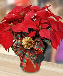 Poinsettia plant in decorative container