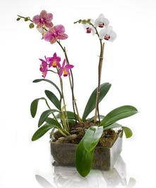 Naples & Marco Island Orchid Garden Delivery by Marco Island Florist