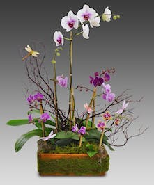 Assorted orchid plant in a moss-covered container.