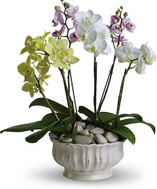 Orchid plants in a beautiful white container accented with rocks.