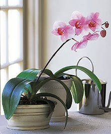 Pink Phaleonopsis Orchid in lovely white container.