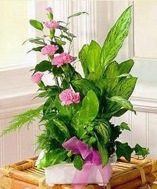 Live green plants and pink mini carnations in a charming planter.