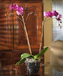 Exotic Phalaenopsis Orchid Plant - Marco Island Flowers