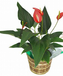 Blooming red anthurium plant in a basket.