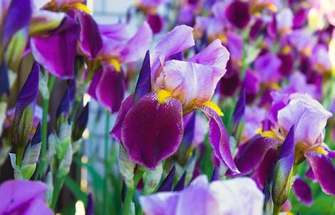 Photograph of iriss
