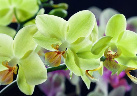 Photograph of green orchids