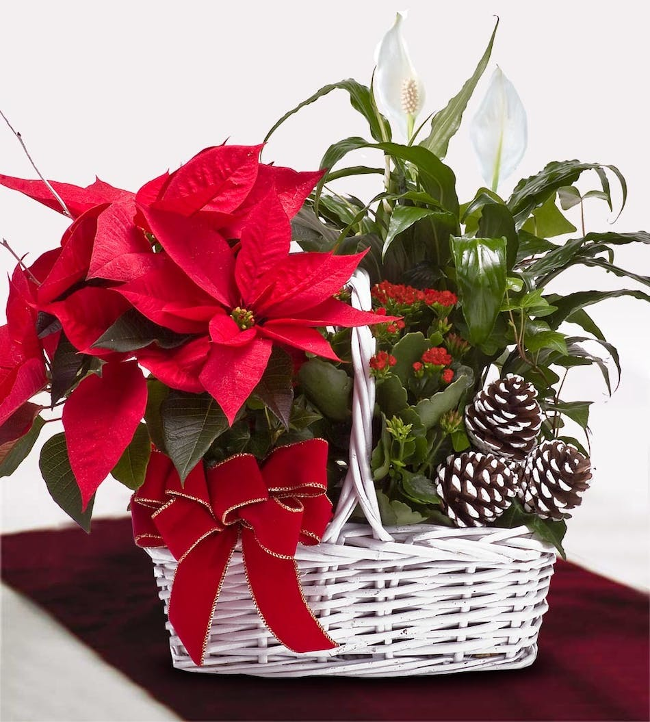 Blooming plant basket including a poinsettia.